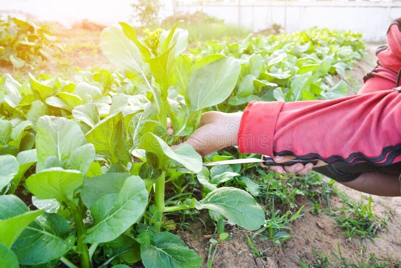 切开新鲜的有机绿色菜的妇女的手 免版税库存图片
