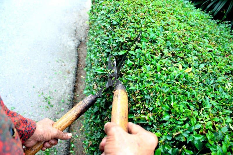 切开有草剪的花匠旁边篱芭Hokkien茶篱芭 库存图片
