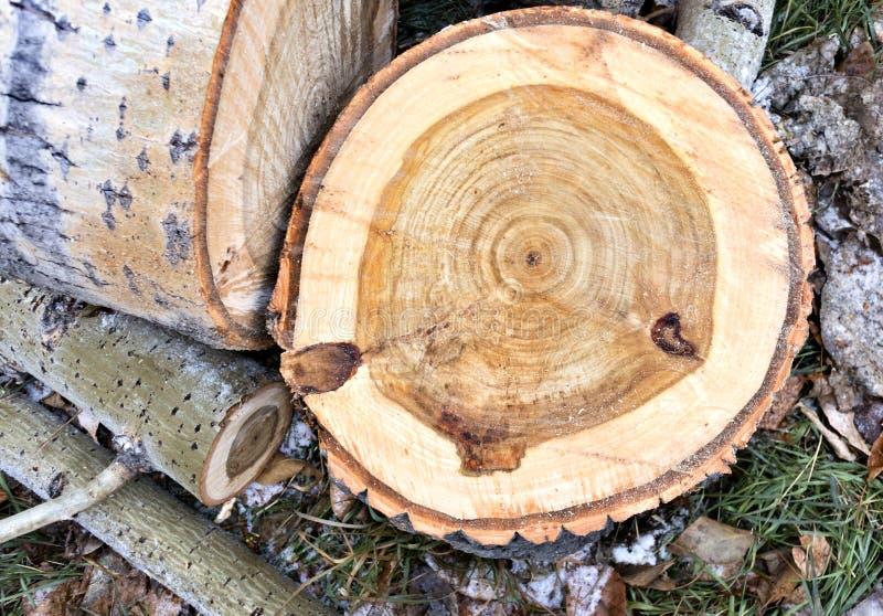 切开树白杨树的树干 库存图片