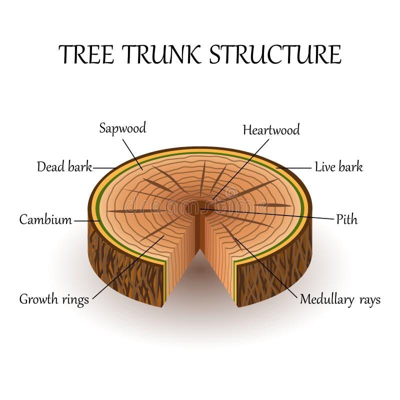 切片的结构树在横断面,教育生物海报,传染媒介例证分层堆积 向量例证