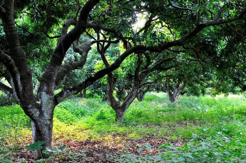 划分为的叶子荔枝树 免版税库存图片
