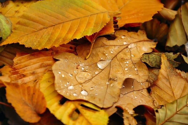划分为的陆运叶子 橡木叶子和露滴 库存照片
