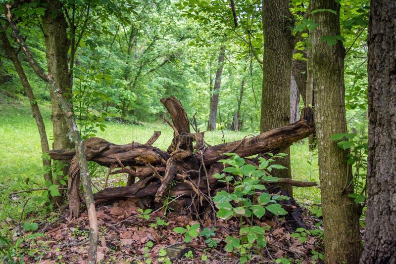 划分为的结构树在森林里 图库摄影