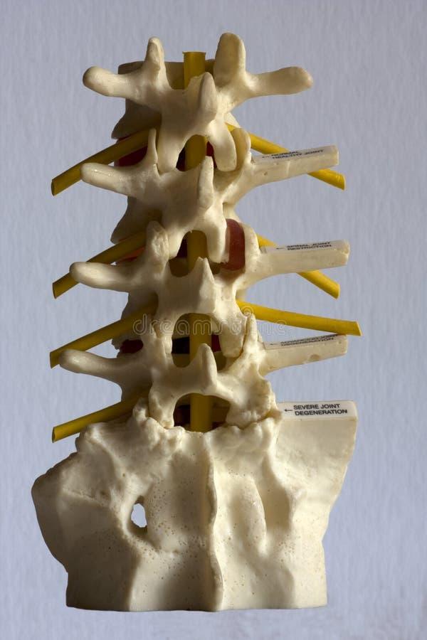 列模型脊髓 免版税库存图片