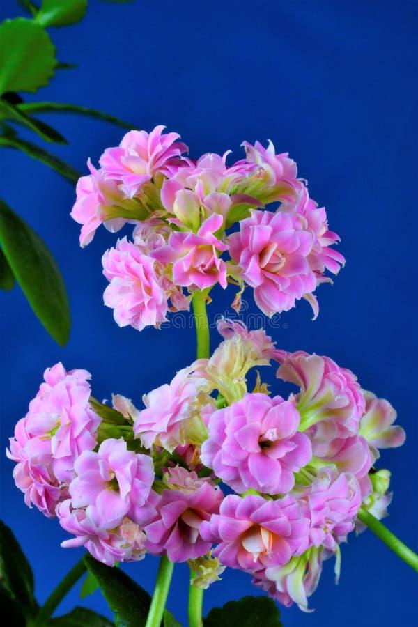 创造性的天蓝色背景的Kalanchoe花热带植物 Kalanchoe是普遍的作为一个室内园林植物,有医药 免版税库存图片