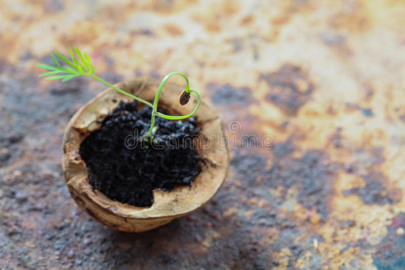 创造性的爱心脏素食食物概念 生长在核桃壳的绿色茴香新芽 老和破旧金属 库存照片