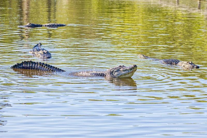 创造法拉第波浪的公鳄鱼在女性中的一个联接的电话期间 免版税库存图片
