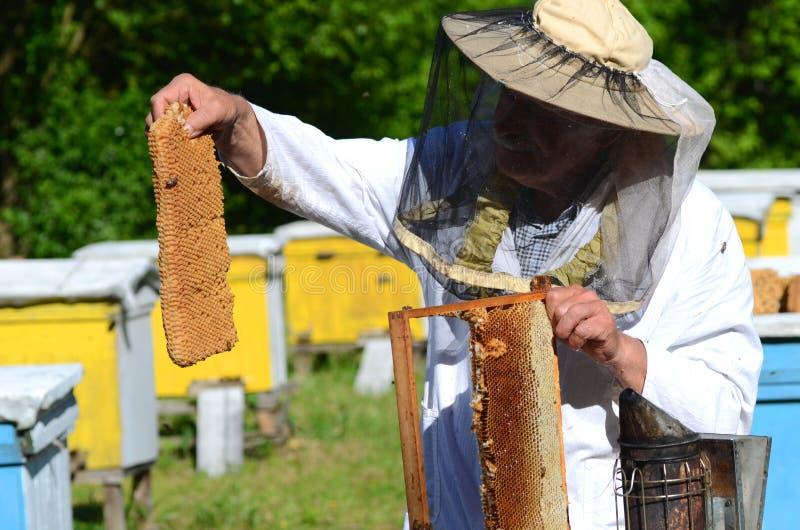 删去幼虫蜂窝的片断在蜂房的老练的资深养蜂家 免版税库存照片