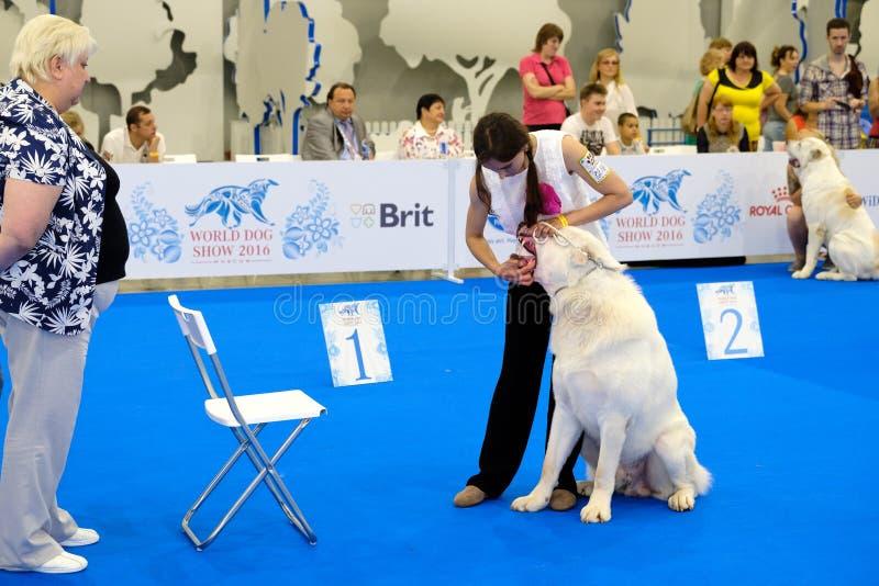 判断在世界狗展示的审查的狗 免版税库存照片