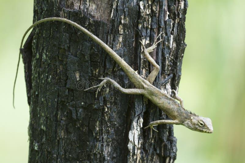利亚尔或鬣鳞蜥Lacertilia 库存图片