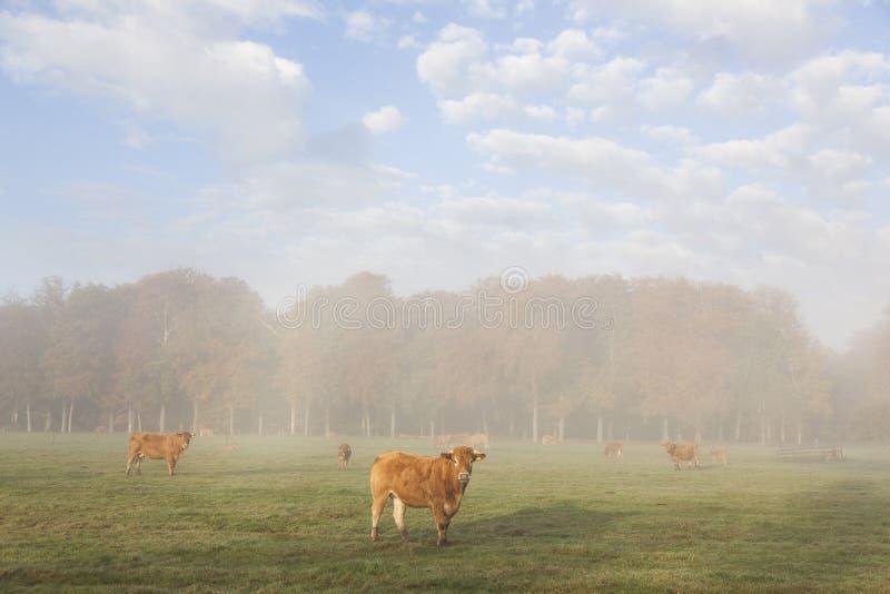 利姆辛母牛在秋天森林前的草甸早晨薄雾的 免版税图库摄影