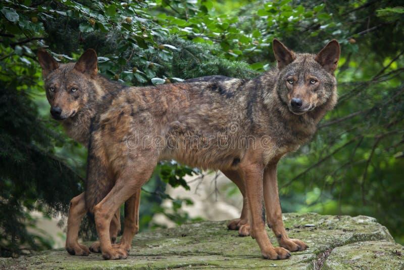 利比亚狼& x28; 天狼犬座signatus& x29; 免版税库存图片