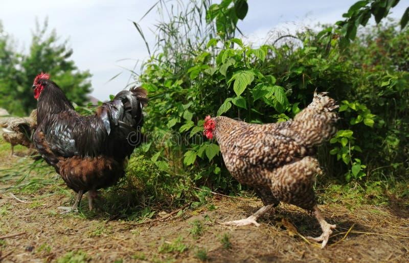 到处乱跑在庭院里的鸡和雄鸡 免版税库存照片