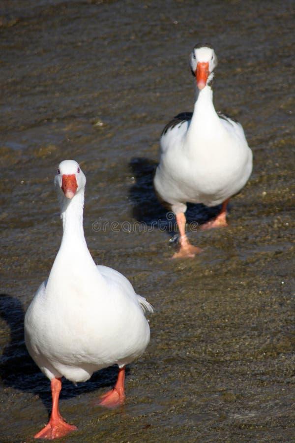 到处鸭子 免版税图库摄影