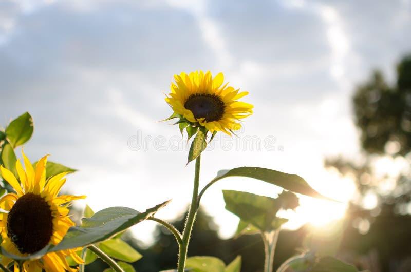到达为光的向日葵 免版税库存照片