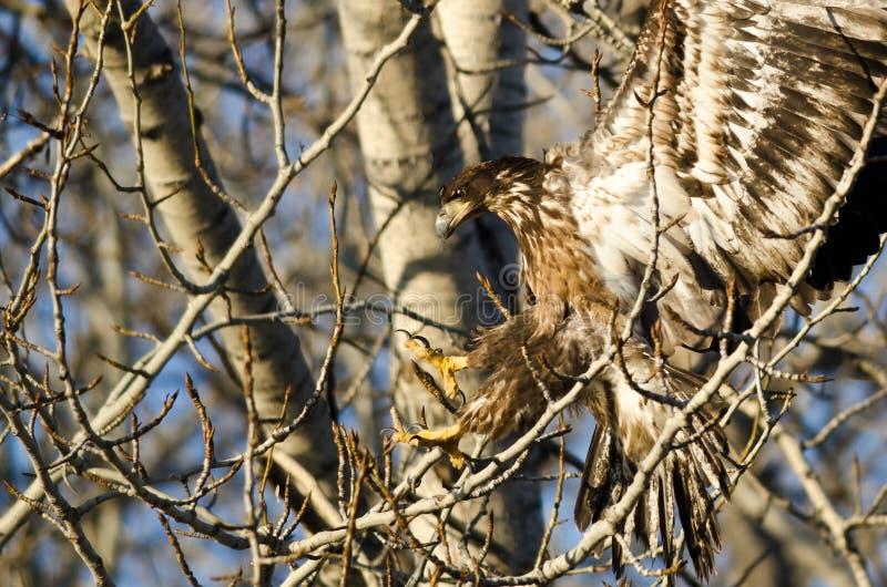 到达为在一棵贫瘠树的一次着陆的幼小白头鹰 免版税库存图片