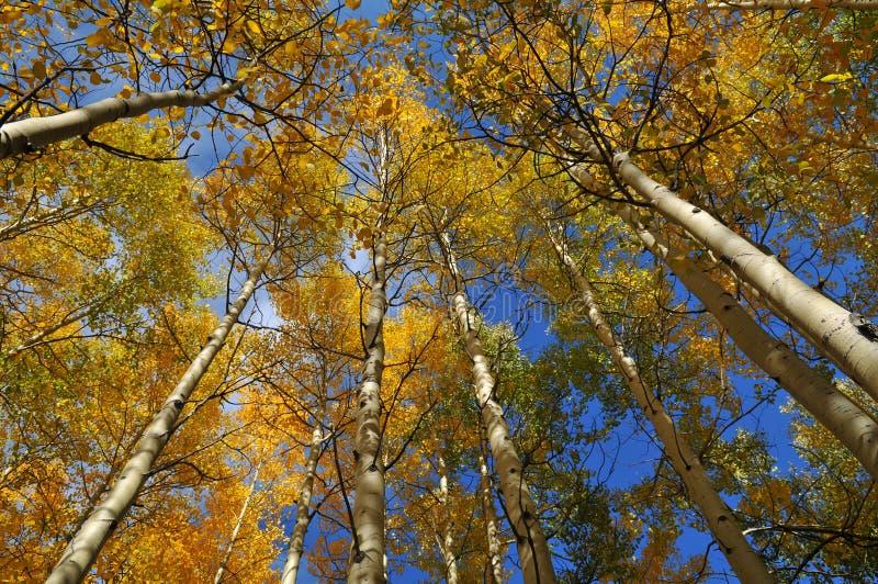 到达天空结构树的白杨木 免版税库存照片