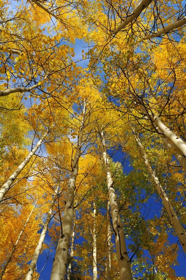 到达天空结构树的白杨木 库存图片