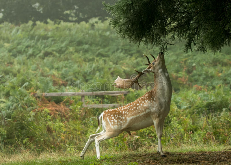 到达的小鹿吃树 免版税库存照片