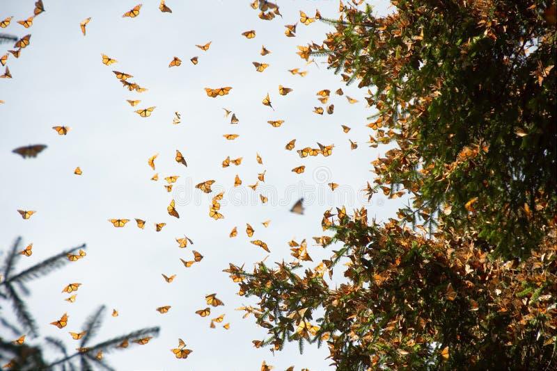 到达米却肯州的黑脉金斑蝶 免版税库存图片