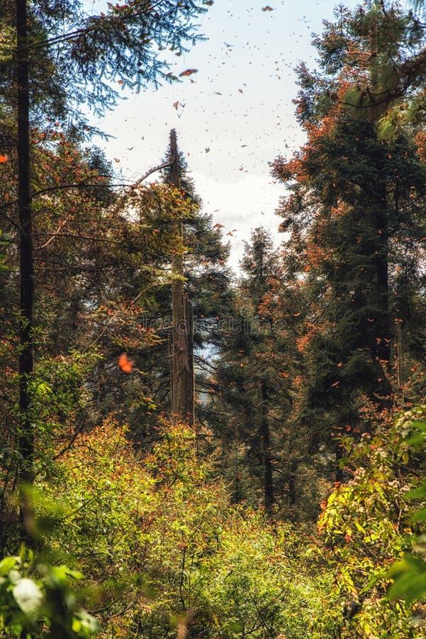 到达米却肯州,墨西哥的黑脉金斑蝶 库存图片