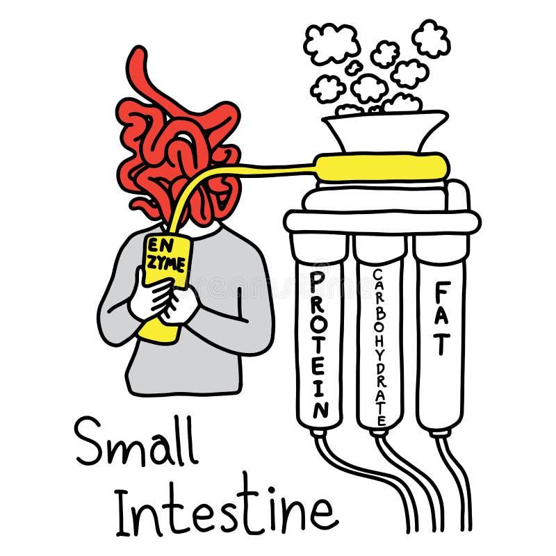 制造酵素的小肠的隐喻作用消化PR 向量例证
