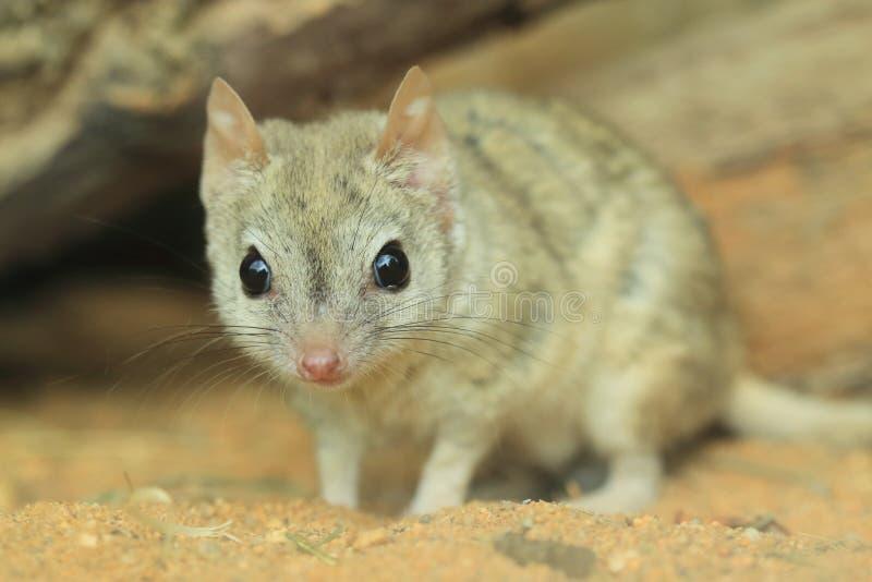 刷子被盯梢的有袋动物的鼠 图库摄影