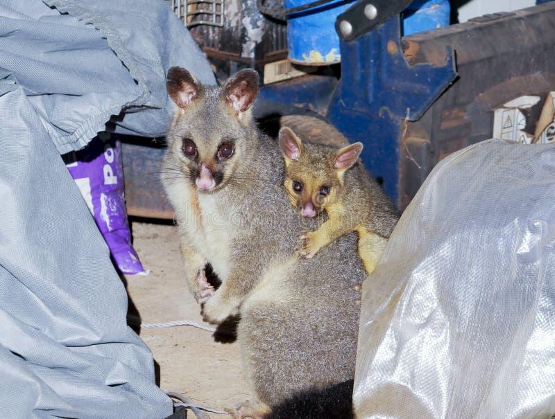刷子被盯梢的负鼠母亲和年轻在后院棚子 库存图片