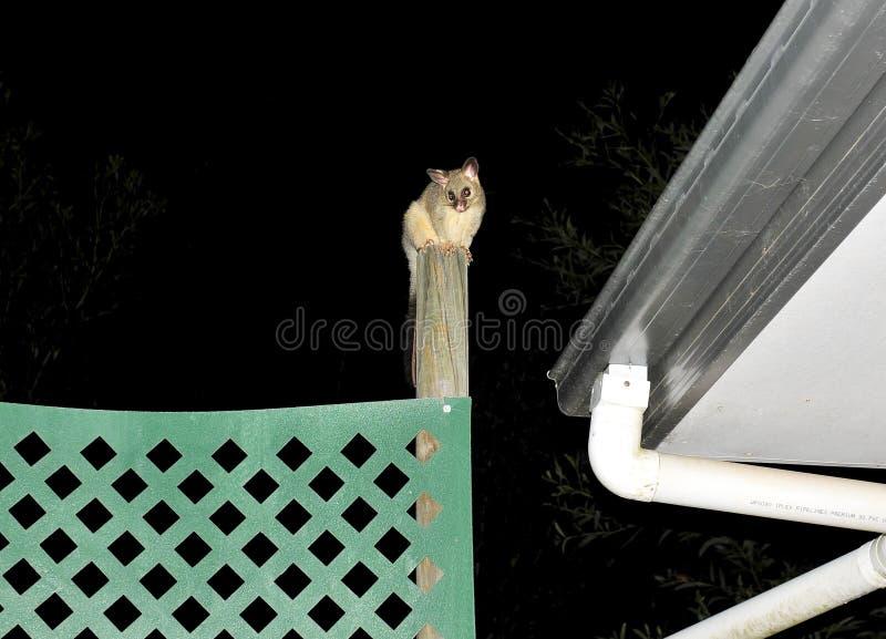 刷子被盯梢的负鼠,一个能登山人 免版税库存照片