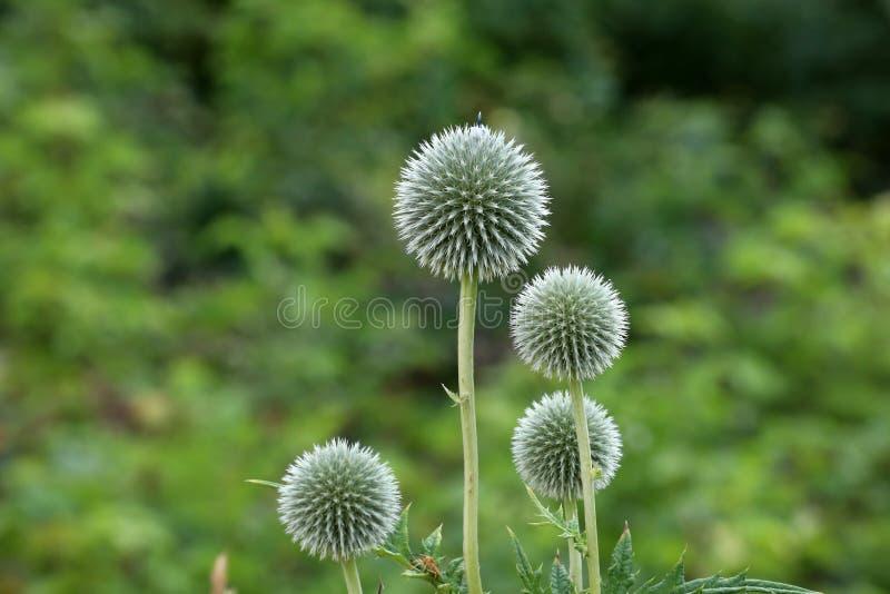 刺头属是在家庭庭院里很少找到的植物 免版税库存图片