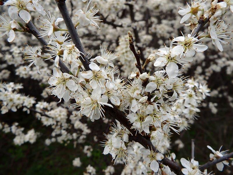 黑刺李花在春天 免版税库存照片