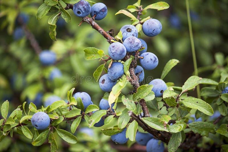 黑刺李莓果 免版税库存照片