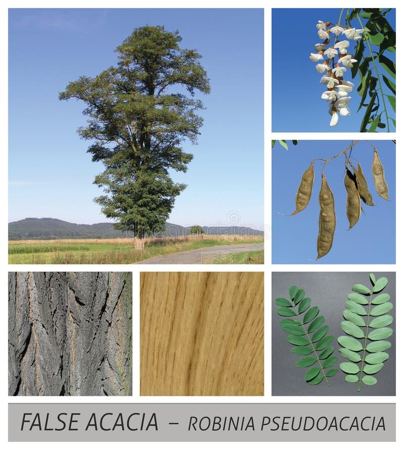 刺槐属,金合欢,shamacacia,刺槐属pseudoacacia,错误金合欢,刺槐,黑蝗虫 向量例证