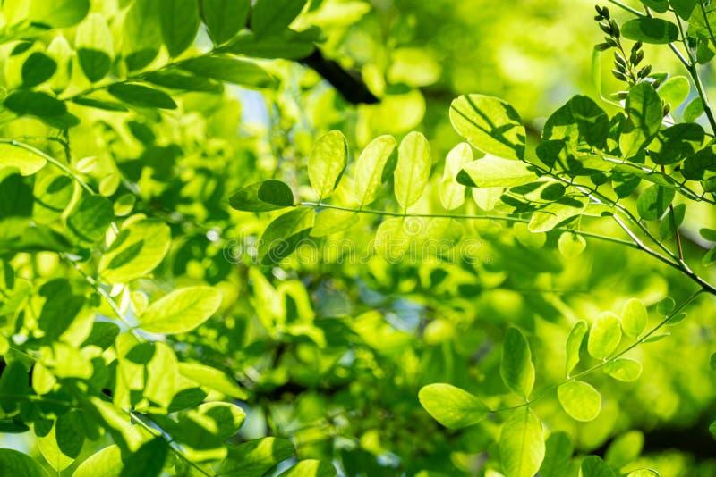 刺槐属pseudoacacia黑蝗虫嫩绿色年轻叶子,错误金合欢太阳通过发光 免版税库存照片