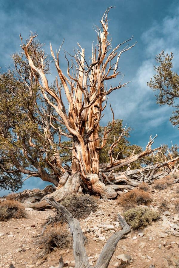 刺毛锥体松树在加利福尼亚 免版税库存照片