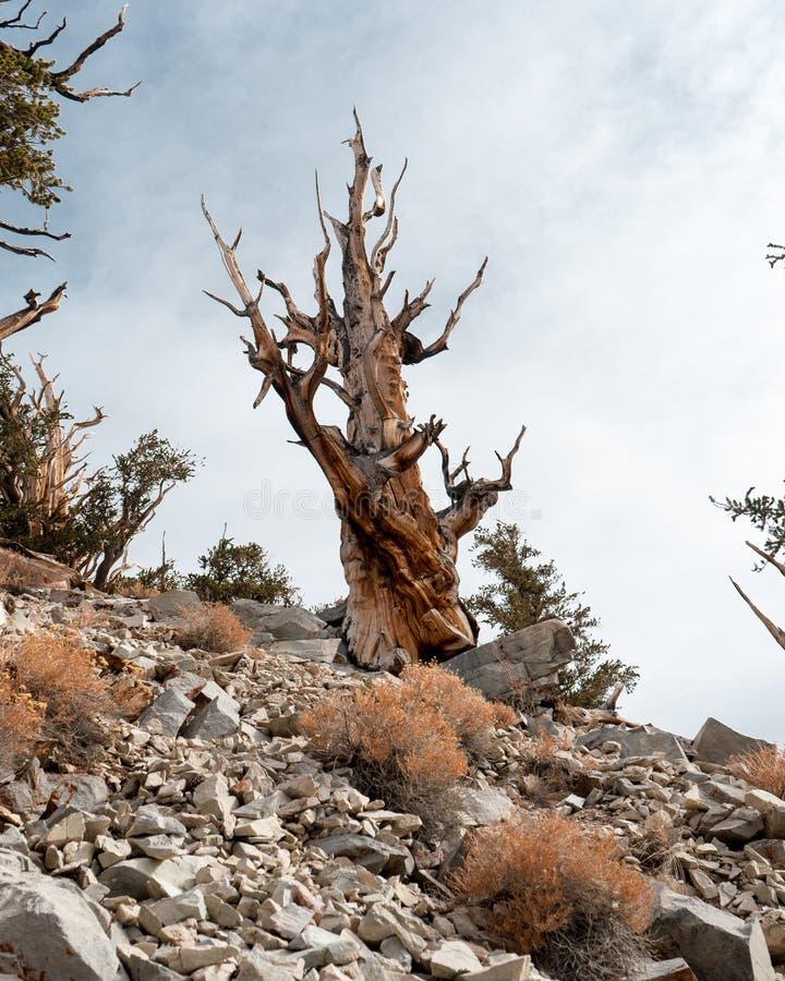 刺毛锥体松树在加利福尼亚 免版税图库摄影