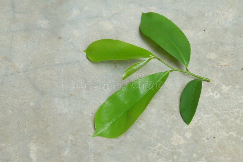 刺番荔枝 与宽绿色叶子的常青树,家庭Annonovye,近亲的类番荔枝科的种类  免版税库存照片