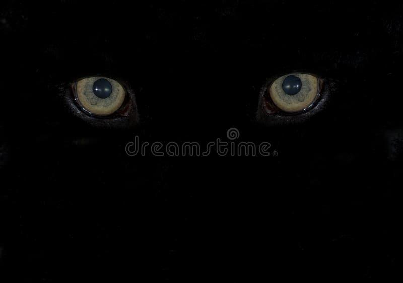 刺穿间距的动物黑眼睛 库存图片