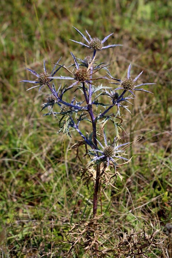 刺芹属植物amethystinum或紫色的海霍莉丛形成的多年生植物轻拍根源与银色蓝色苞和分支的词根的草本 图库摄影