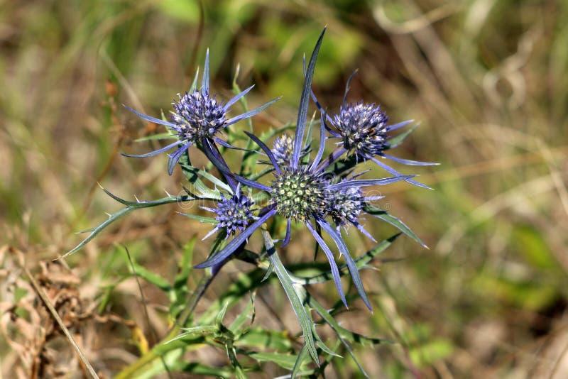 刺芹属植物amethystinum或紫色的海霍莉丛形成的多年生植物轻拍根源与银色蓝色苞和分支的词根o的草本 图库摄影