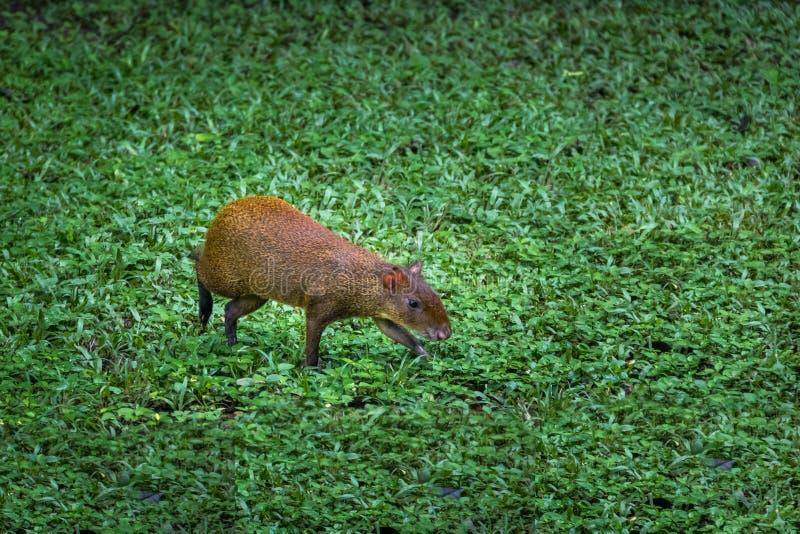 刺豚鼠- Copan,洪都拉斯 库存图片