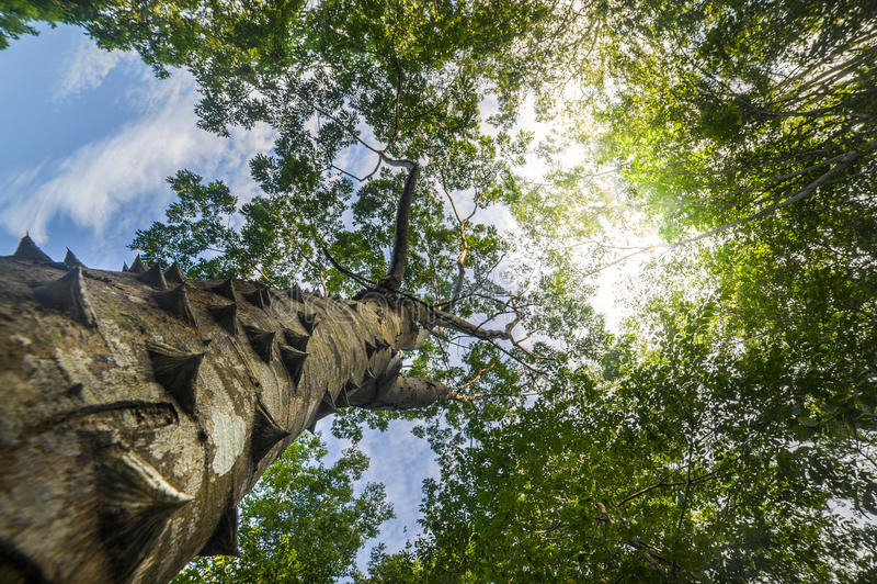 刺钉树被保护的波多黎各木棉 免版税图库摄影