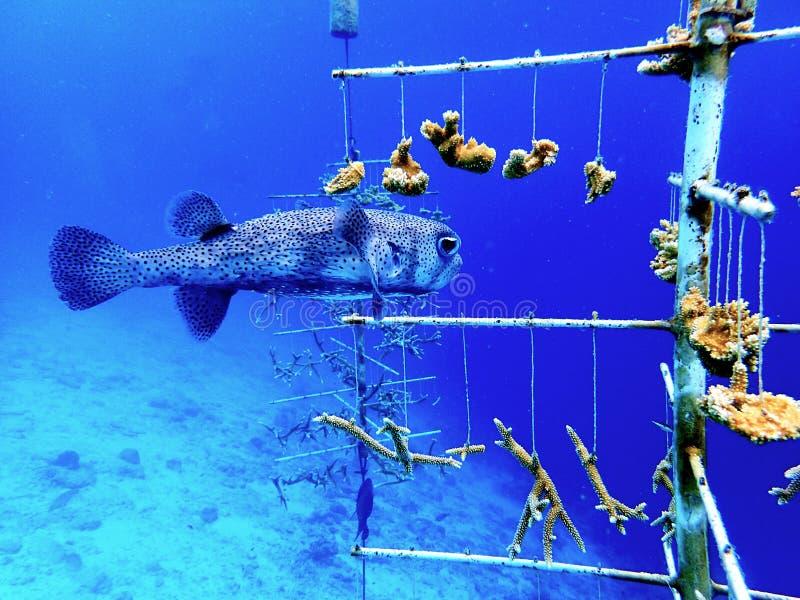 刺鱼在珊瑚恢复托儿所博内尔岛 免版税图库摄影