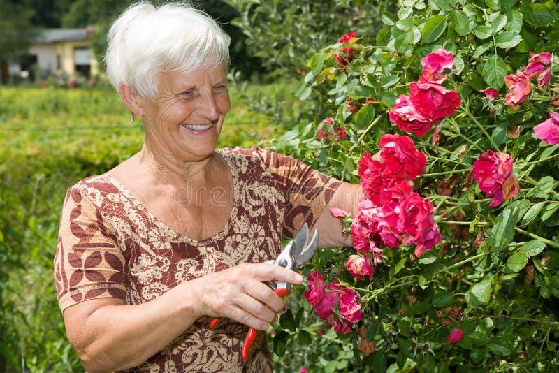 刻花庭院祖母红色玫瑰 库存图片