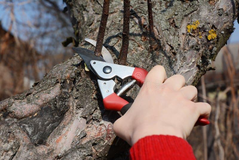 削减与旁路剪枝夹的花匠手苹果树分支春天 春天修剪照片的果树 免版税库存图片