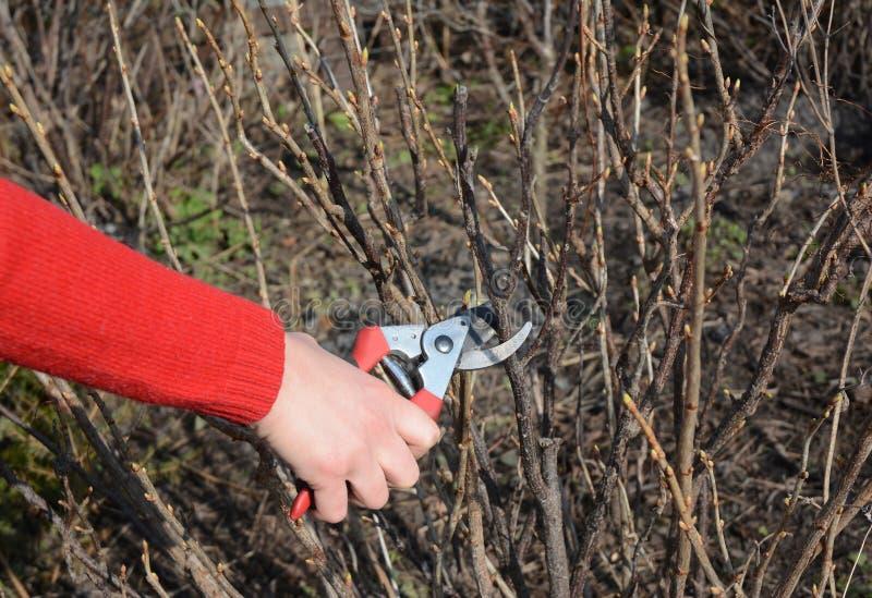 削减与旁路剪枝夹的花匠手黑醋栗灌木分支在春天果子庭院里 免版税库存照片