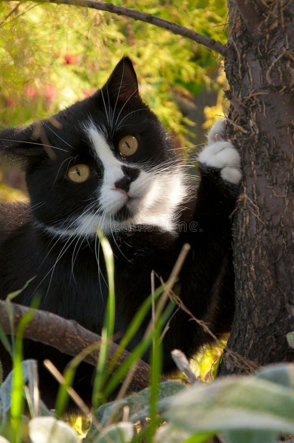削尖它的爪的黑白猫 库存图片