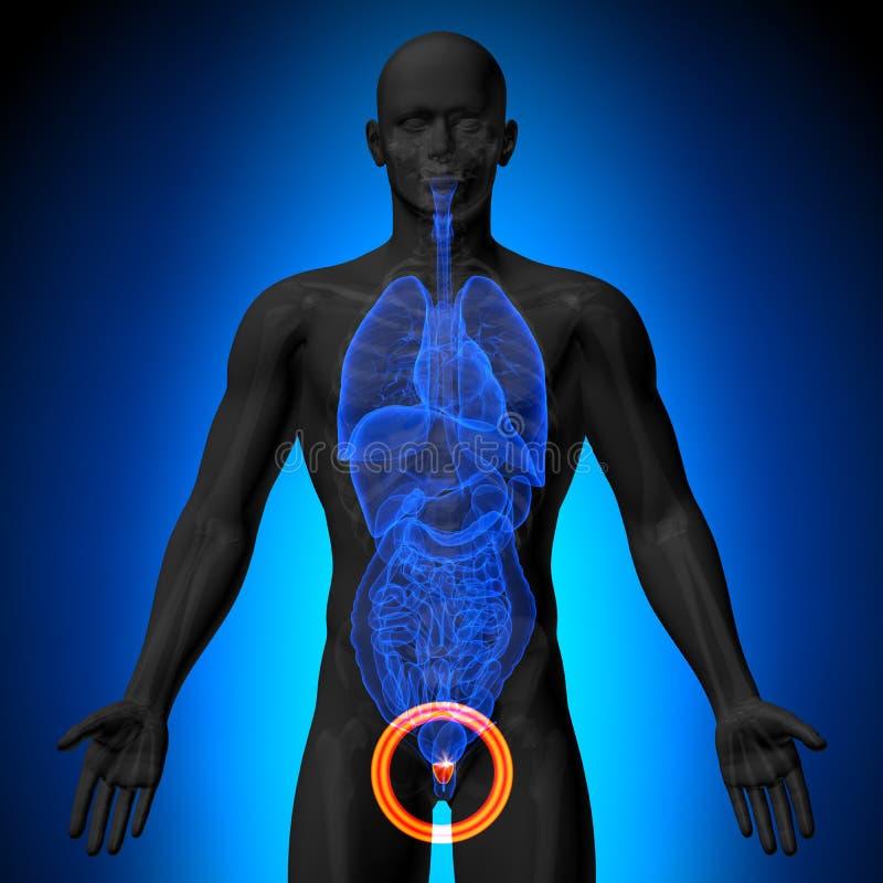 前列腺-人体器官男性解剖学- X-射线视图 库存例证