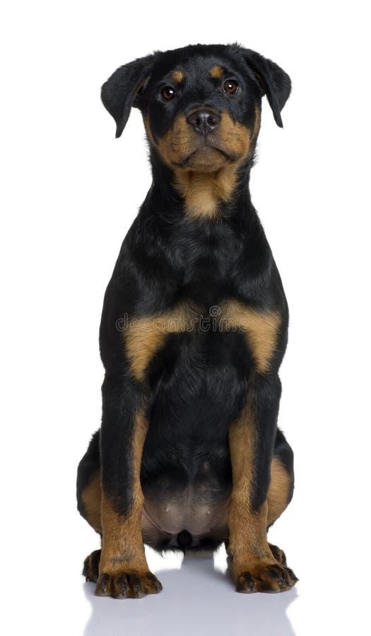 前小狗rottweiler坐的视图 库存图片
