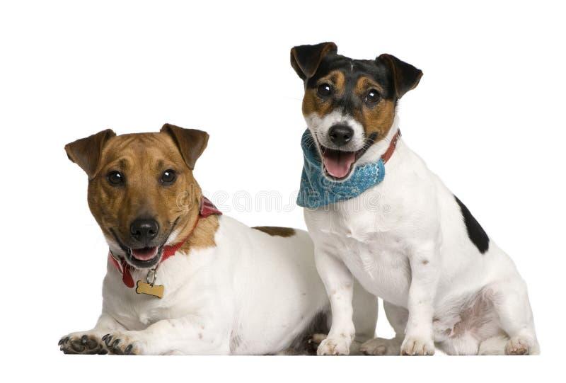 前插孔罗素坐的狗二视图 免版税库存图片